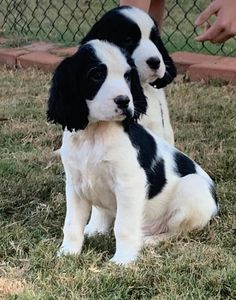 Dog Cookies, English Springer Spaniel, Spaniels, Cute Animals, Bird, Dogs, Pretty Animals, Cutest Animals, Doggies