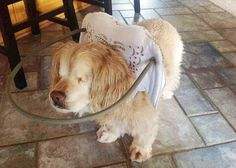 This device helps blind dogs walk around.