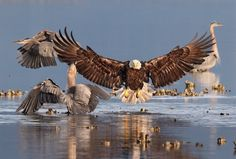 """""""Bonnie Block won the grand prize in the 2016 Audubon Society Photography Awards for her magnificent photo above of a Bald Eagle and a Great Blue Heron in Seabeck, Washington. The Eagles, Bald Eagles, Photography Awards, Wildlife Photography, Animal Photography, Photography Exhibition, Photography Magazine, All Birds, Birds Of Prey"""