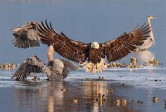 Der Adler landet: Eigentlich gibt es Fisch satt, aber der Weißkopfseeadler...