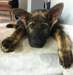 german shepherd puppy  to cute