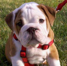 Frank the English Bulldog