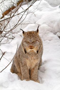 Lynx du Canada (Lynx canadensis) Voilà un animal bien singulier, adapté au grand froid, le lynx du Canada ne ressemble à aucun autre félin avec son air pataud, ses grosses pattes de lapin et sa toute petite queue. Mais voilà on aimerait bien se rouler dans la neige avec cette grosse peluche.