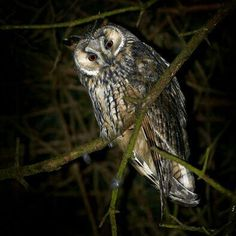 This owl lives in the tree near our hotel entrance. Finally caught on camera!