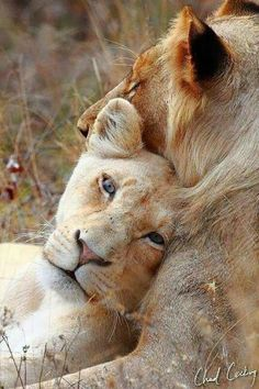 Lion Love by and guide Chad Cocking /Chad Cocking Wildlife Photography Animals And Pets, Baby Animals, Cute Animals, Wild Animals, Funny Animals, Lion Love, Cat Love, Beautiful Cats, Animals Beautiful