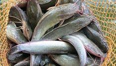 Dunia Cara Ternak Hewan - Peluang Usaha Sampingan: strategi jitu ternak ikan lele