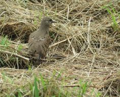 Bird Photos, Birding Sites, Bird Information: RUDDY GROUND-DOVE, NARIVA SWAMP, TRINIDAD & TOBAGO...