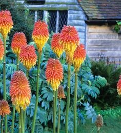 If you're going to grow redhot pokers, you may as well go for the huge emperor of the family rooperi, which flowers in the autumn as the garden is turning to brown and grey.