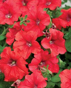 Supertunia® Red - Petunia hybrid