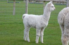 Alpacas for wool.