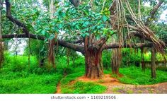 banyan tree and grass