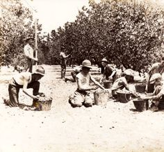 Young men picking fruit on Albert Prince's orchard in North Hollywood, 1920s. Prince is standing on the left holding a piece of wood. The area is now part of North Hollywood Park. Weddington Family Collection. San Fernando Valley History Digital Library.