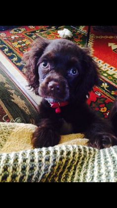 Snickers the cockapoo puppy #snickerslifeatlarge