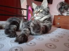 Baloo kitty maine coon cat brown tabby blotched - 6 month old - cleans its paws.