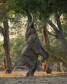 The older bulls of the Zambezi Valley have a few tricks up their sleeves... and this is the one I love to see best. Seeing these behemoths r...