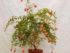 Цветущий домашний гранат: собираем семена для выращивания