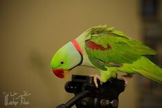 My pets at home  #pets #mypet #mypets #parrot #greenparrot #parrots #parrotofinstagram #bird by mazher__khan http://www.australiaunwrapped.com/