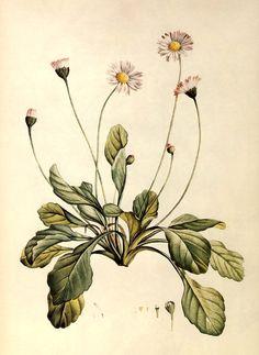 intheheatherbright:  Daisy (Bellis perennis). J. J. Rousseau, La Botanique, 1805. Alice M. Coats, The Book of Flowers (London: Chancellor Pr...