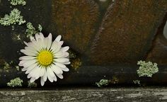 daisy-1358365_960_720.jpg (960×589)