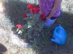 Я люблю розы и выращиваю их у себя, своими руками, сам. Раньше у меня был огромный розарий, но сейчас только местами, в особенности на газоне и лишь теперь несколько сортов. На фото чайный сорт, с запахом, примерно темно-красного классического вида. Если мимо идти летом и в зной, а можно и вечером после заката, запах стоит сильный даже, когда мимо идешь по дорожке. На фото дочь и лейка, на газоне около туи, которая сейчас зимой обмотана 20 метрами гирлянды и в данный момент день и ночь…