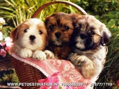 IF U WANNA BUY HEALTHY N BEST QUALITY PET SO CALL US NOW WE HAVE PETS LIKE - Shitzu , Poodle , Siberian Husky , Nepolian Mastiff , Maltese , Daschund , Yorkshire Terrier , Rottweilers - (aggressive) , Golden Retreiver , Chihuahua , Cocker Spaniel , Bloodhound , Bulldog ,Dober man , German Shepherd , Great Dane , Greyhound , Lhasa Apso , Pug , St.Bernard (smooth and rough coat) & LOTS OF MORE. The pups are huge in size,rich colouring,double boned,punch face They have been de-wormed and vet…