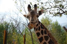 giraffe- these are my favorite zoo animals