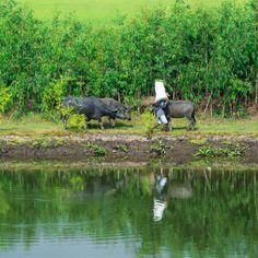 Vietnamese farmer walks water buffalos along the riverbank #vietnam   #rural   #agriculture   #dailylife   #culture   #nature   #ecology   #environment   #landscape