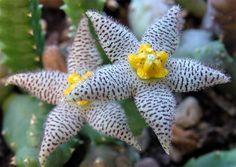 Piaranthus Pillansii