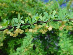 Berberis thunbergii (Japanese barberry): Go Botany Japanese Barberry, Botany, Trees To Plant, Fruit, Plants, Gardening, Shrubs, Garten, Planters