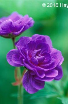 Buy Geranium pratense Plenum Violaceum Online   Hayloft Plants