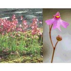 Graines Utricularia Multifida - See more at…
