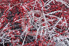 Frozen plants - red berries covered by hard rime