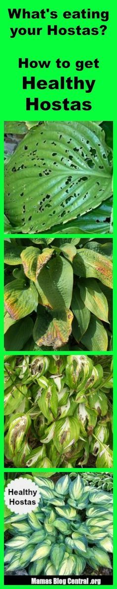 Best Homemade Solution for Hostas Care - will stop bugs & slugs from eating Hostas. http://www.mamasblogcentral.org/hostas-care/
