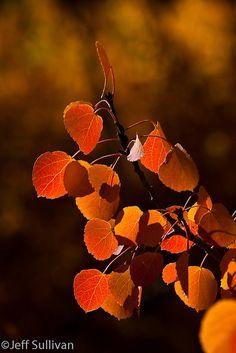 Aspen Leaves Backlit, Red by Jeffrey Sullivan, via Flickr