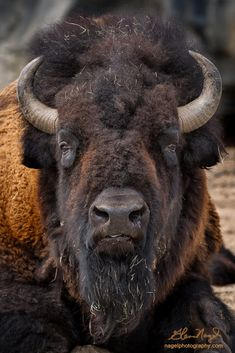 national geographic photography animals Eyes is part of Quiz What Animal Does Each Eye Belong To - Bison American Bison, American Animals, Native American Art, Buffalo S, Buffalo Animal, National Geographic Animals, National Geographic Photography, Large Animals, Animals And Pets