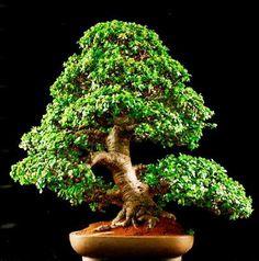 Portulacaria afra is easy to develop as a jade bonsai, much easier than the larger leaf jade-Crassula argentea. Flowering Bonsai Tree, Bonsai Tree Care, Bonsai Tree Types, Indoor Bonsai Tree, Bonsai Plants, Bonsai Garden, Bonsai Trees, Planter Garden, Jade Bonsai