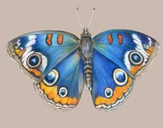 Blue Buckeye Butterfly - Botanical Art - Natural Science Illustration by Mindy Lighthipe