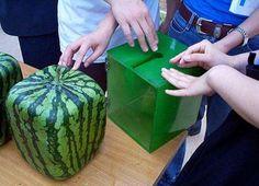 Well slap me silly and call me Clyde! I never thought I would see a square watermelon in my lifetime and what do you know? Not only can you grow one in this snazzy contraption, if you want to do it yourself, you can simply use a mason block and crack the block after it grows. Who would have thunk it, ;) Have you ever seen a square watermelon or fruit? This is my first.
