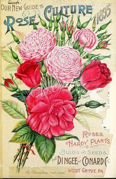 011-Bouquet, Rose   ...