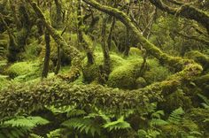 Terceira forest - Azores islands, Portugal (photo by Luis Quinta)