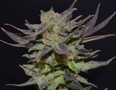 Auto Lavender Feminised Cannabis Seeds
