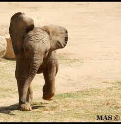 Baby African Elephant_1310 by ~MASOCHO on deviantART