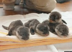 baby otters on a towel