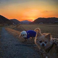 澄みきったオレンジ色に染まる夕焼け空を眺めながら、ワンコ達とお散歩🐾🌄 ❄️Walking with the dogs while watching the sky stained orange 🐾🌄❄️#instagood #dog #japan #kyoto #kobe #osaka #mountain #forset #nature #chiwawa #チワワ#animal #instalove #grass #country #自然 #森林 #田舎 #草 #京都 #日本 #大阪 #神戸 #cute #可愛い #愛犬 #緑 #多頭飼い#walk