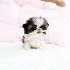 Tiny Male Shihtzu Ken is for sale.