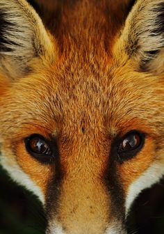 "Fox: ""Up Close!"" (Photo By: Victoria Hillman on 500px.)"