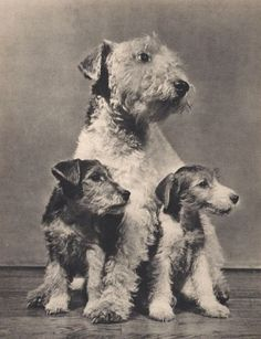Wire Haired Fox Terrier mom with 2 of her Puppies PHOTOGRAPHED BY YLLA 1945. Some food to the left ?