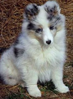 Puppies :: Shadow Hill Kennel and Farm: AKC Show Shetland Sheepdogs, Breeding Top Quality Show Shelties in NC