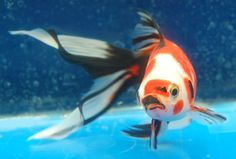 Goldfish - Amazingly beautiful Sanke-like Shubunkin