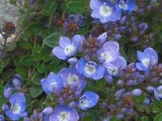 CREEPING-BLUE-SPEEDWELL-Veronica-repens-GROUNDCOVER-SEEDS-NEW